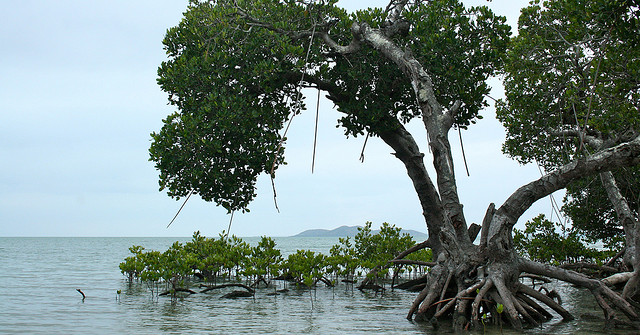 Building Resilience and Cultivating Your Mangrove Swamp